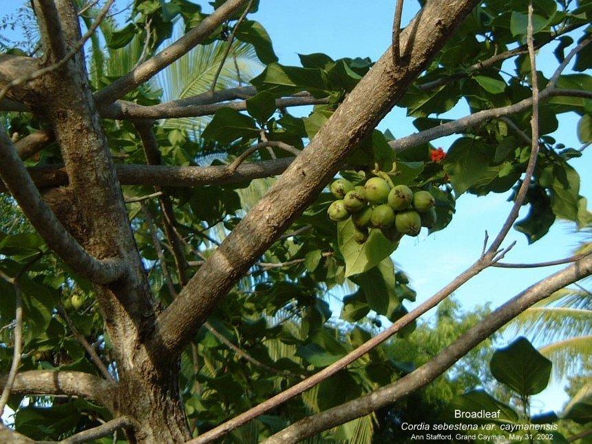 Cordia sebestena fruits gr May 31-02 AS