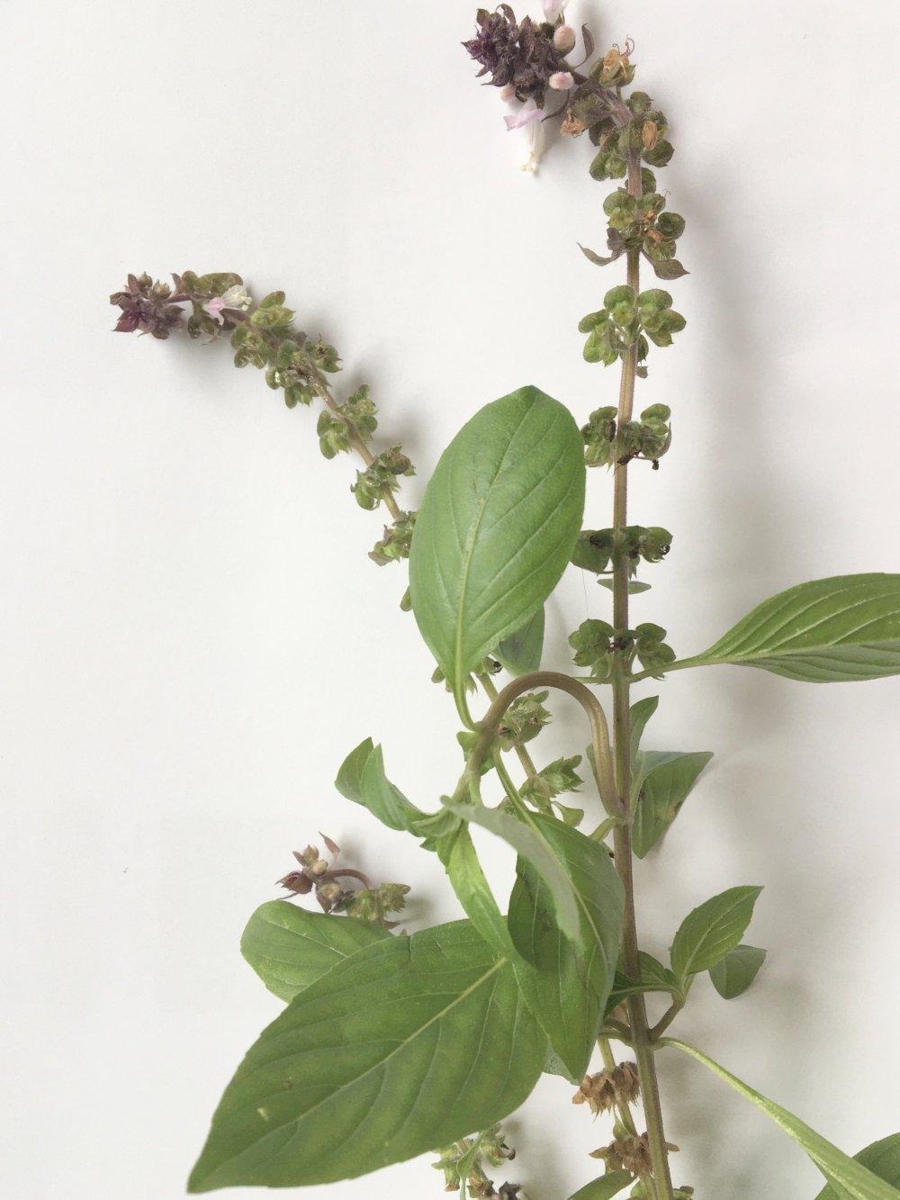 Ocimum sp Basil Oct.5-19